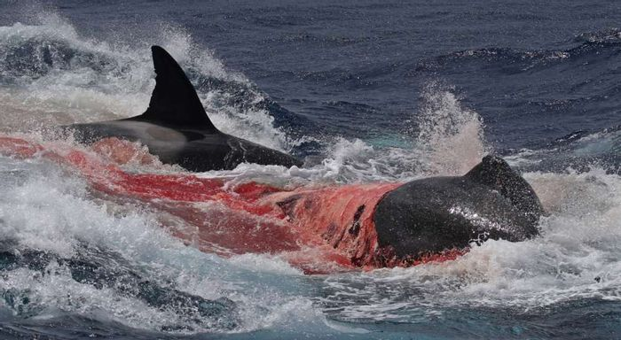 Killer whales kill and eat a beaked whale in the ocean waters.