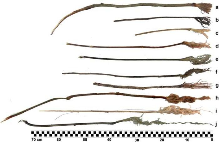 Examples of sticks and twigs that were chewed by chimps to collect water.