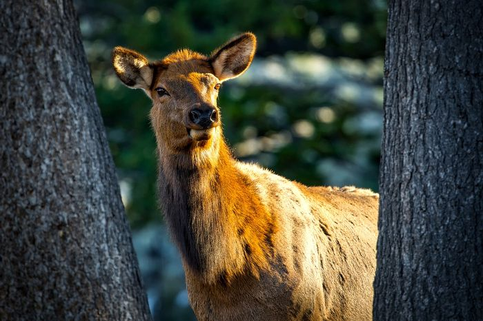 Female elk are intelligent enough to use strategic tactics to avoid hunters' crosshairs during hunting season.