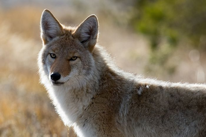 The coyote quickly expanded across the North American continent, and continues to move into South America.