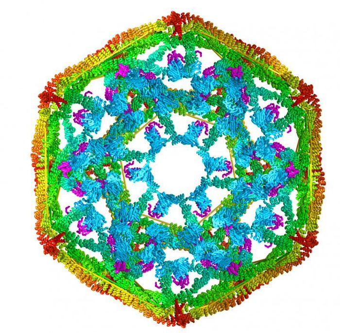 This is a model of the structure of clathrin, a protein that researchers at The University of Texas Health Science Center at San Antonio used to study how a heat shock protein disassembles protein complexes. / Credit: Drs. Eileen Lafer and Rui Sousa/UT Health Science Center at San Antonio