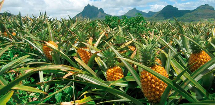 Pineapples use CAM photosynthesis. Photo: Alltech