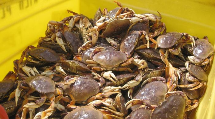 Dungeness crabs are a lucrative industry on the West Coast. Photo: CDFW News - WordPress.com