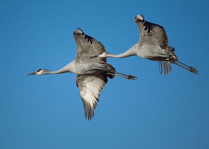 Sandhill Cranes, credit: Wikimedia Commons, Manjith Kainickara