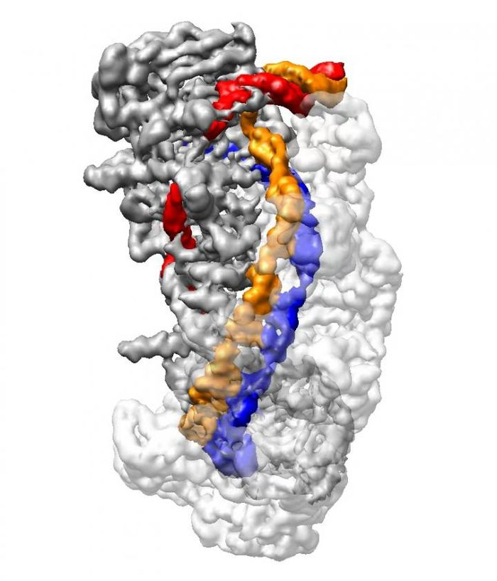 This is an cryo-electron microscope image of CRISPR in a full 'R-loop' conformation. DNA (orange and red) is unwound and compared to CRISPR RNA (blue), to determine if the target DNA should be cut by the Cas3 enzyme. / Credit: Liao lab/Harvard Medical School