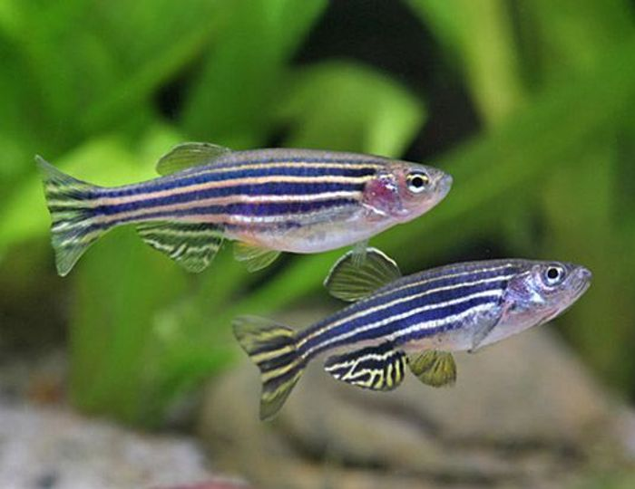 What zebra fish tell us about cancer tumors | Cancer