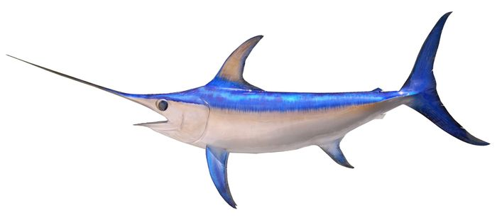 What makes swordfish such fast swimmers? Researchers think they've found the answer.