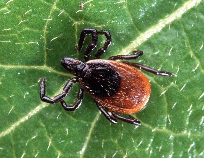 Ixodes ticks transmit the Lyme disease bacterium, Borrelia.