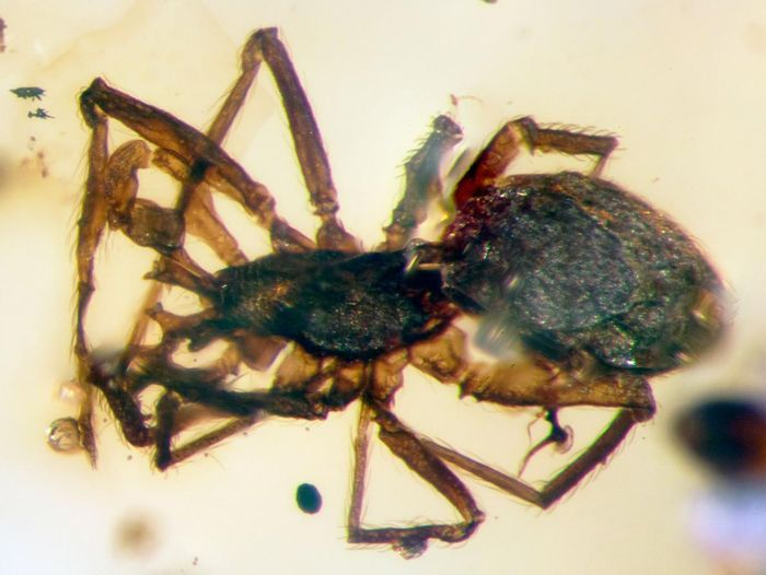This is a 99-million-year-old spider that was preserved in a hunk of amber.