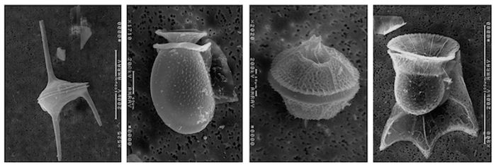 Dinoflagellates / Credit: UMCES