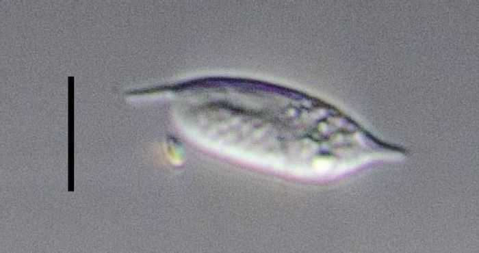 An image of a diplonemid taken at sea; it was isolated for genomic sequencing. / Credit: Patrick Keeling