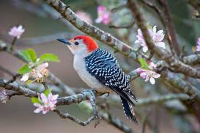 The Red-bellied woodpecker's name deceives it, as there is not actually much red on its breast
