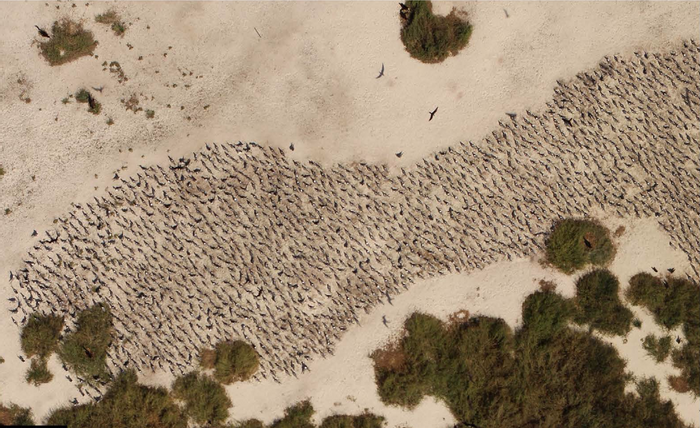 Using drones to monitor animal populations may be the wave of the future.
