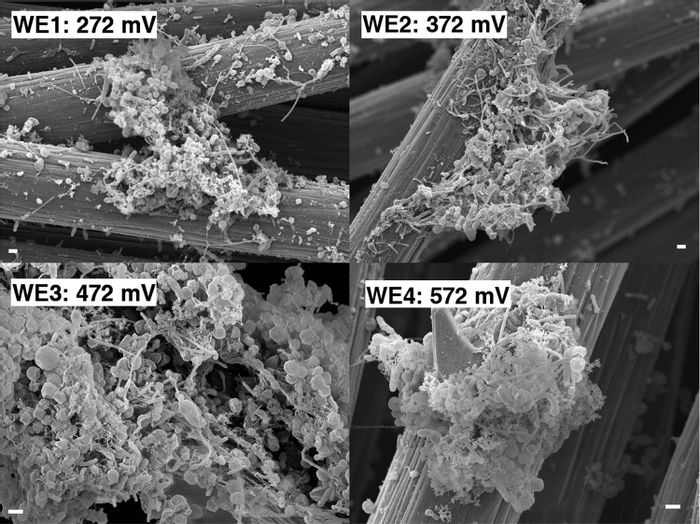 From Frontiers in Microbiology, electrodes can be used to attract microbes that consume electrons. This is a scanning electron microscopy image of such an electrode with its associated biomass (1 ?m scale bar).