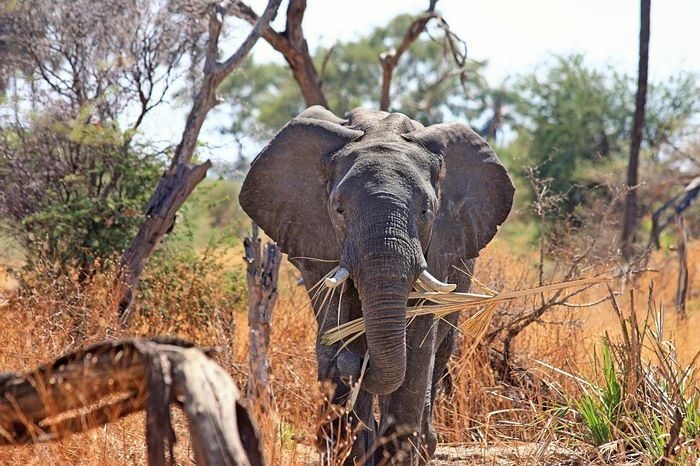Poachers are relentless when it comes to elephants, but a relocation project is underway that will move several of the creatures from a densely-populated area of Malawi to one where elephant populations are lower than desired.