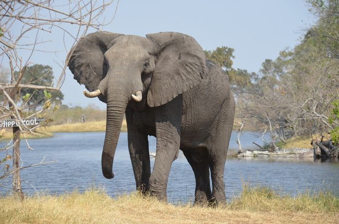 Poachers target elephants because their tusks can be worth a lot of money on the black market.