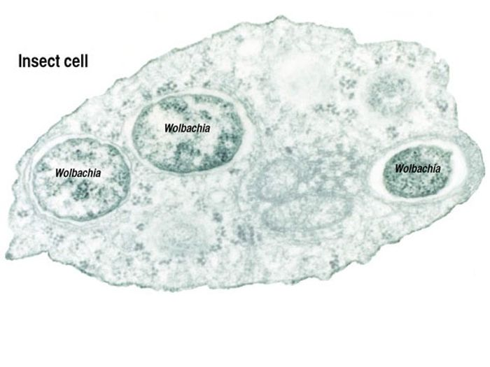 Wolbachia are intracellular parasites.