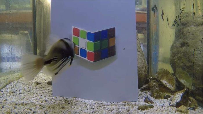 Lagoon triggerfish can easily be tricked by color shading optical illusions, just like people.