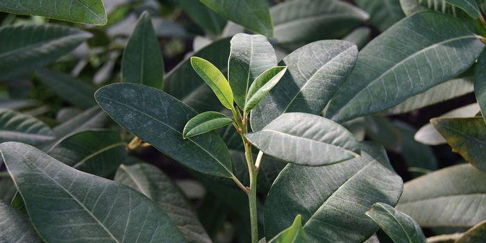 A Persea Indica plant (Wikimedia Common)
