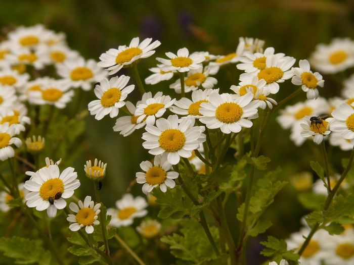 Inside feverfew hides a compound with anti-cancer properties. Photo: Pixabay