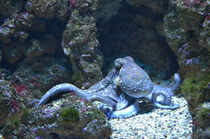 Octopuses are just one of the many kinds of animals that belong to the cephalopod group.