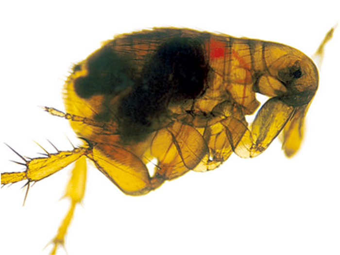 Y. pestis forms a biofilm (red) in the flea's digestive tract.