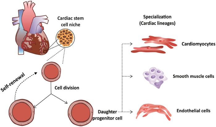 Cardiac cell differentiation into three main cardiac lineages (C. F. Leite et al, 2015)