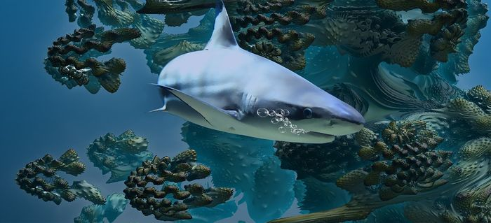 With fewer sharks in certain parts of the world's oceans, researchers notice bodily changes in the surrounding fish.
