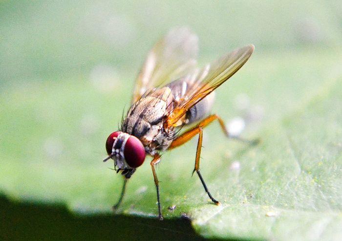 Fruit fly / Credit: Needpix