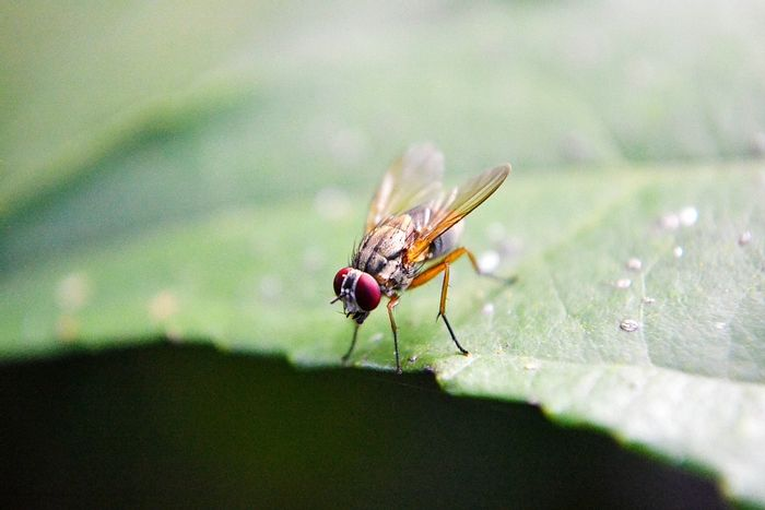Fruit flies, a species of fly called Drosophila melanogaster, live for only 30 days.