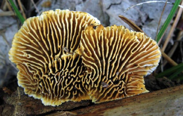Basidiomycota brown rot fungi use a non-enzymatic, chelator-mediated biocatalysis method to digest woody biomass that is very different than methods used by any other microorganism studied, say Barry Goodell and colleagues at UMass Amherst, working with an international team. / Credit: Karel Tejkal
