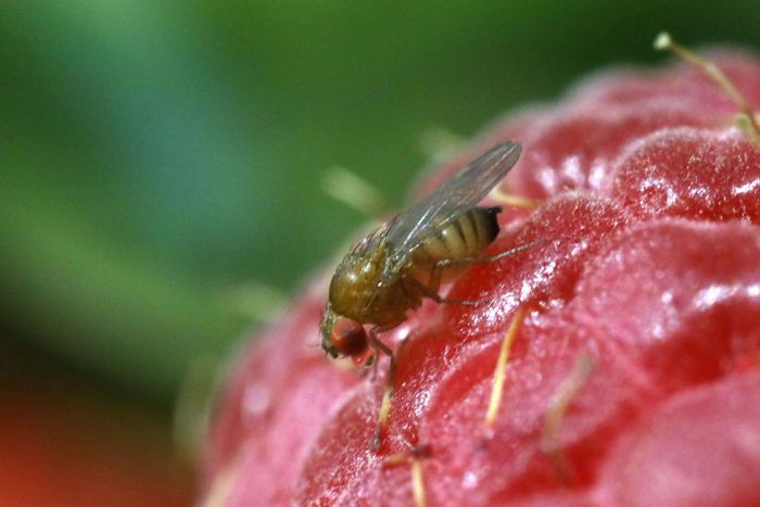 In the past 10 years, the invasive fruit fly known as the spotted-wing drosophila (Drosophila suzukii) has caused millions of dollars of damage to berry and other fruit crops. / Credit: Michelle Bui, UC San Diego