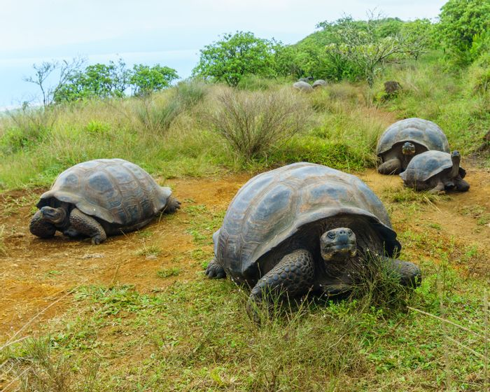 The Galapgaos giant tortoise, as photographed by the study's lead author.