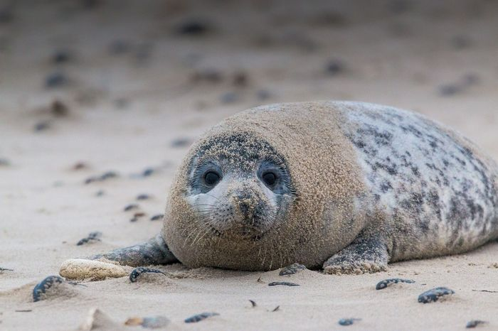 The gray seal was once thought to be on th ebrink of extinction, but newer and more accurate surveys show their numbers are recovering.