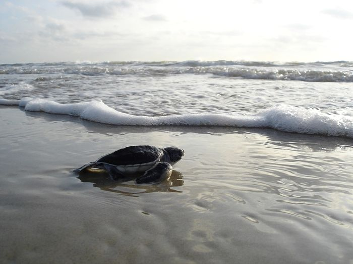 Green sea turtles take to the sand when they're ready to nest.