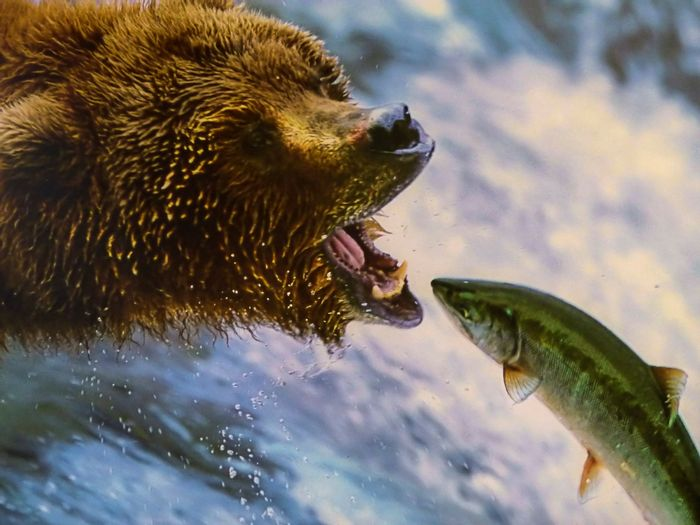 Grizzly bears love salmon, but they don't always forage rushing currents in search of food.