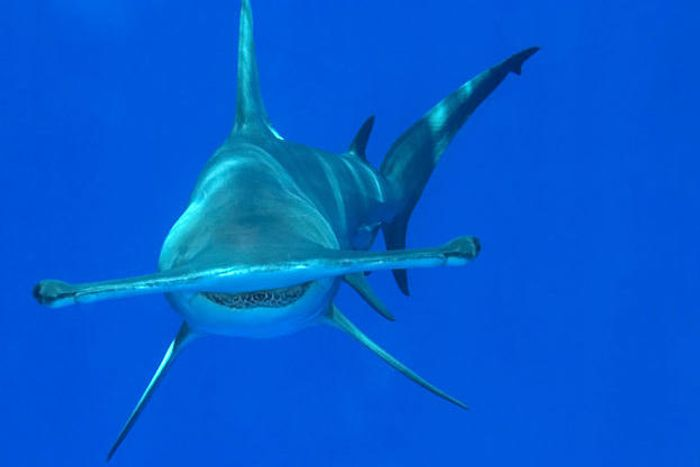 Hammerhead sharks are endangered, but some people just don't care.