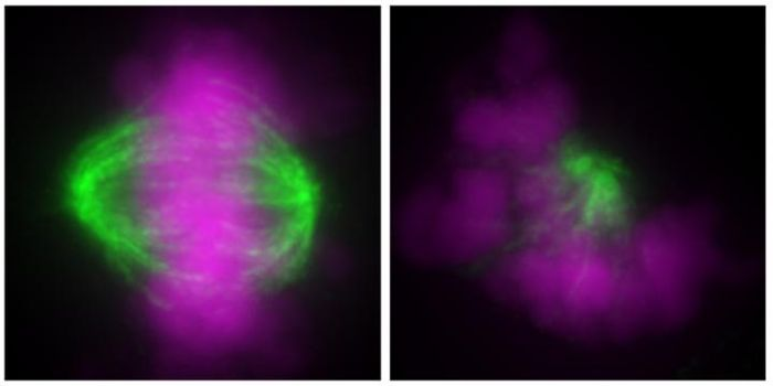 A diploid cell (left) and a haploid cell (right) showing normal and abnormal orientation of chromosomes (purple) and microtubules (green) during cell division, respectively. / Credit/Copyright: Yaguchi K., et al., Journal of Cell Biology, April 30, 2018