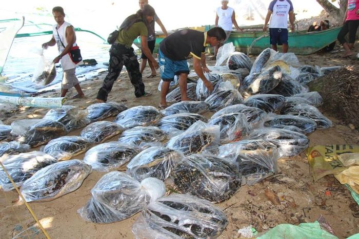 Bagged hawksbill sea turtle carcasses are counted and confiscated following routine patrol in The Philippines.