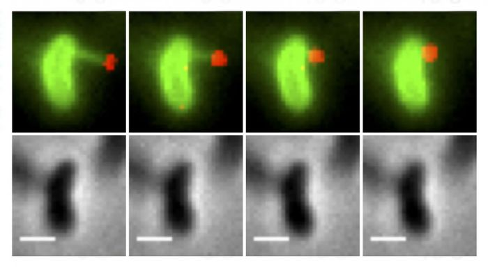 The upper images show a bacterial pilus (in green) latching onto a piece of DNA (in red) and pulling it back into the cell, the first steps in the DNA uptake process. The lower images show the same cells without the florescent dyes. / Credit: Ankur Dalia, Indiana University