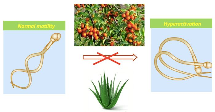 Compounds extracted from two plants, Espinheira Santa (Maytenus ilicifolia) and aloe, prevent hyperactivation in sperm, the power kick necessary to fertilize the egg. The compounds are potential emergency contraceptives. / Credit: Polina Lishko graphic.