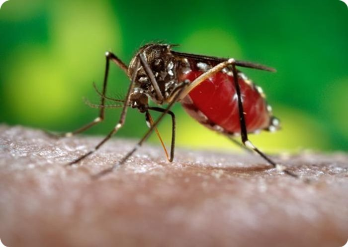Dengue virus is transmitted by Aedes mosquitoes.