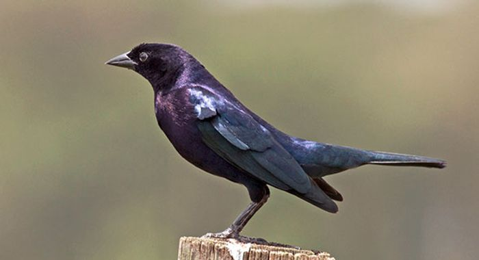 The shiny cowbird is a type of brood parasitic bird that was involved in this study.