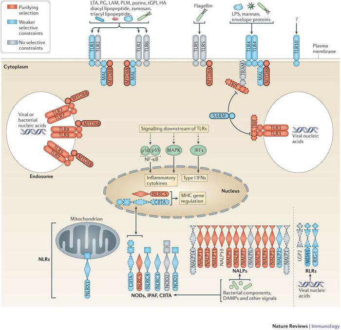Genes of the innate immune system