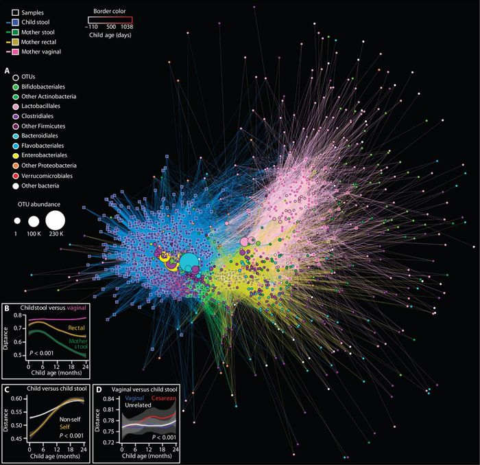 To put simply, this network analyzes relationships between samples and reveals that the infant microbiota matures from a neonatal state, with associations to samples from maternal vagina and rectum, to a post-infancy state resembling maternal stools. Image: Science Translational Medicine/Bokulich et al