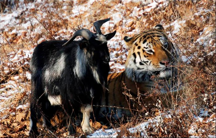 Timur, the goat on the left, beside Amur, the tiger on the right.