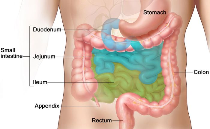 The small intestine, where most vitamins and other micronutrients are digested and absorbed. / Credit: Wikimedia Commons