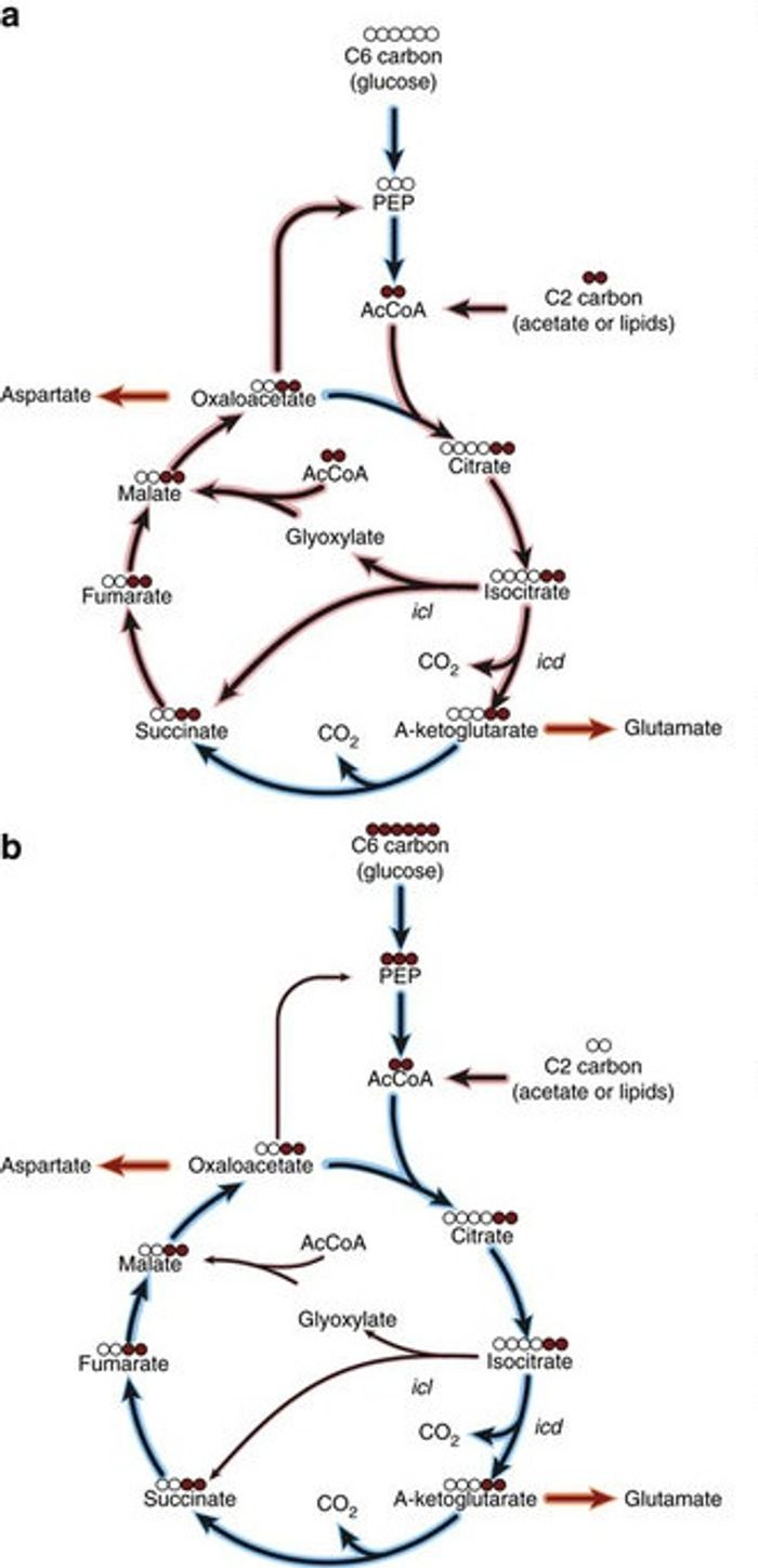 Schematic of fluxes into the TCA cycle and glyoxylate shunt following shift from glucose (blue shading) to radiolabelled acetate (red shading). (b) Schematic of fluxes into the TCA cycle and glyoxylate shunt following shift from acetate (red shading) to radiolabelled glucose (blue shading). / Credit: Nature Communications Murima et al
