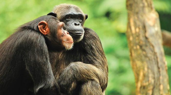 As great apes struggle to stay alive, illegal smuggling has never been more prevalent.