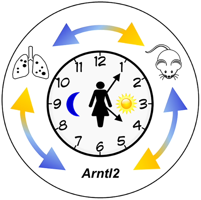 Identification of the circadian rhythm Arntl2 gene and its relationship to cancer metastases (Siracusa LD, Bussard KM; 2016)